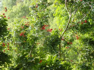 Litchi/lychee