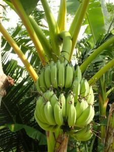 Bananer...