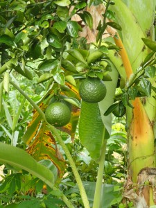 Appelsin, ikke Lime...