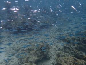 Stimer med småfisk står under overflaten