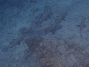 Stimer med større fisk står litt dypere