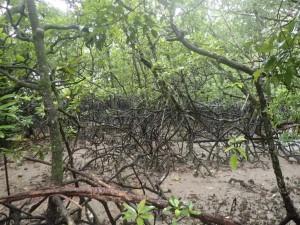 Mangroveskog