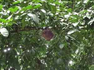 Flyvende lemur henger sovende fra en gren