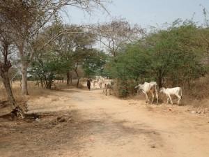 En flokk med kyr på vandring